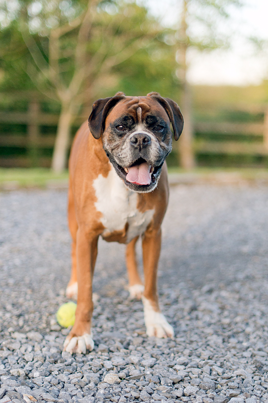 As you may have noticed from the paintings, Chris and Orla love dogs. Here's Munky, a nine year old Boxer. She's as playful as a puppy and just as loveable.