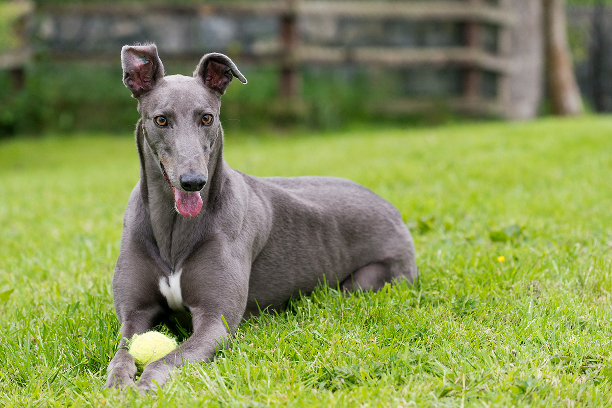 This beautiful animal is Mouse, a rescued grayhound. He has the sweetest disposition and is extremely gentle. Kris and I fell in love with him the moment we set eyes on him.