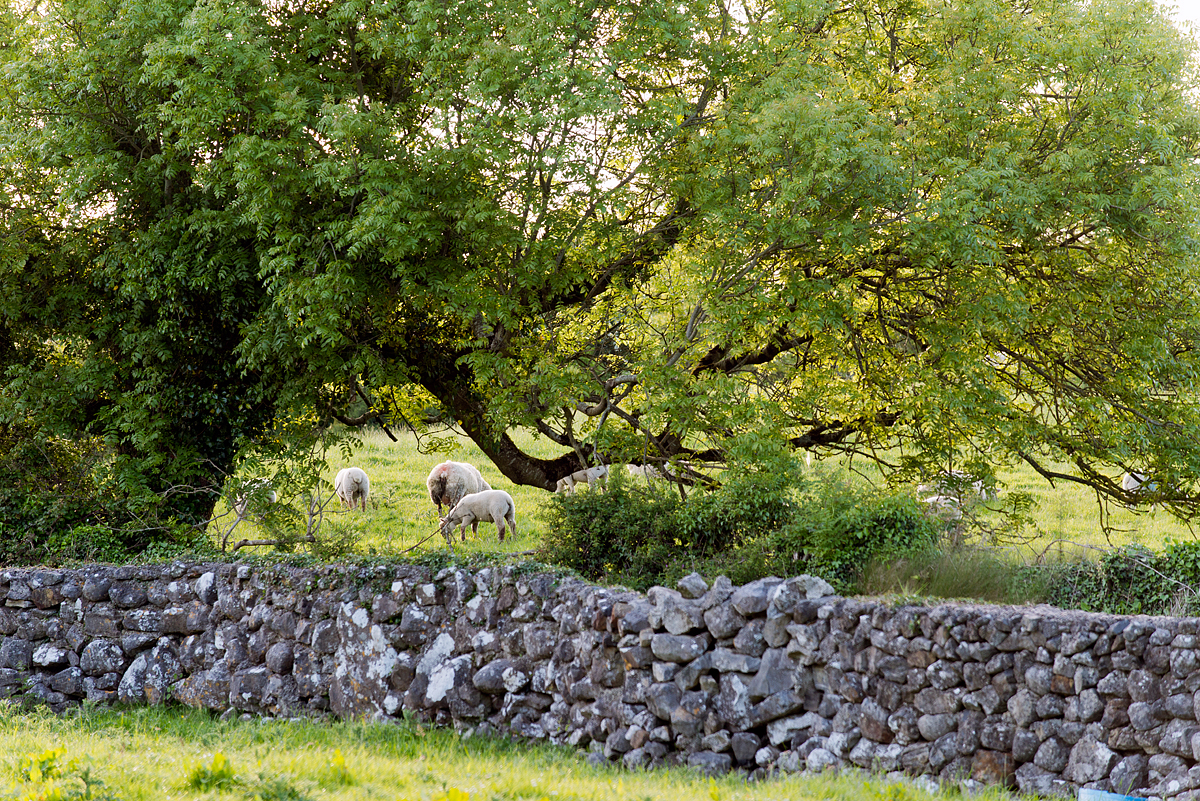Sheep seen over a stone wall near Bookeen.