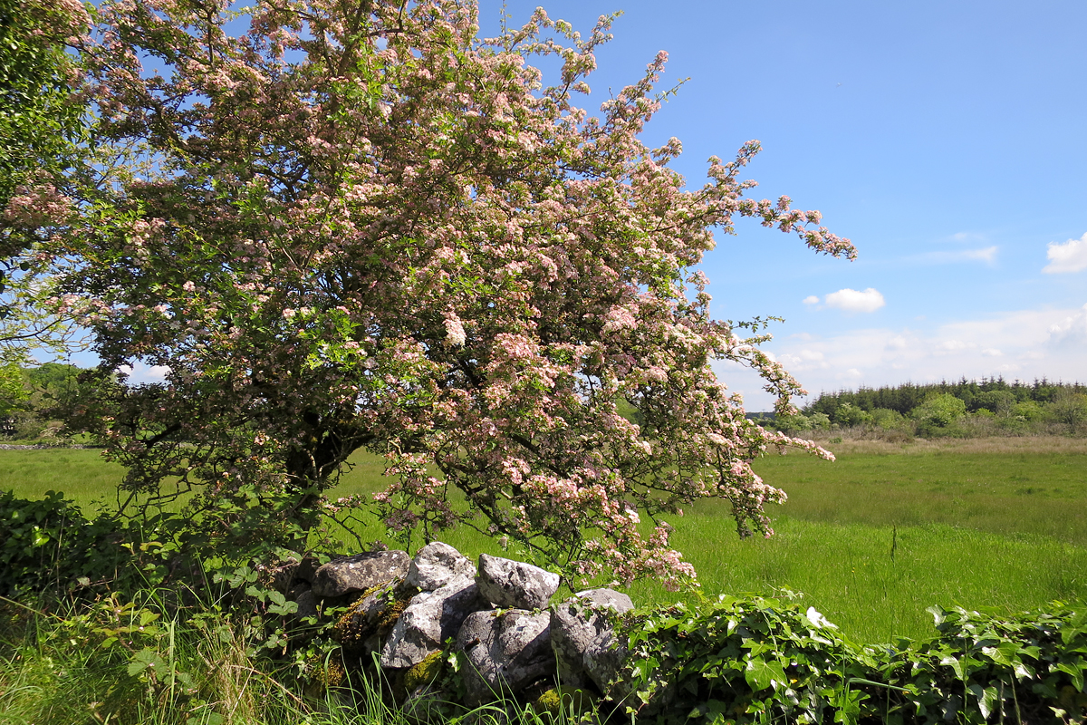 A flowering tree near Bookeen. The air is fresh and we hear distant sheep and cattle.