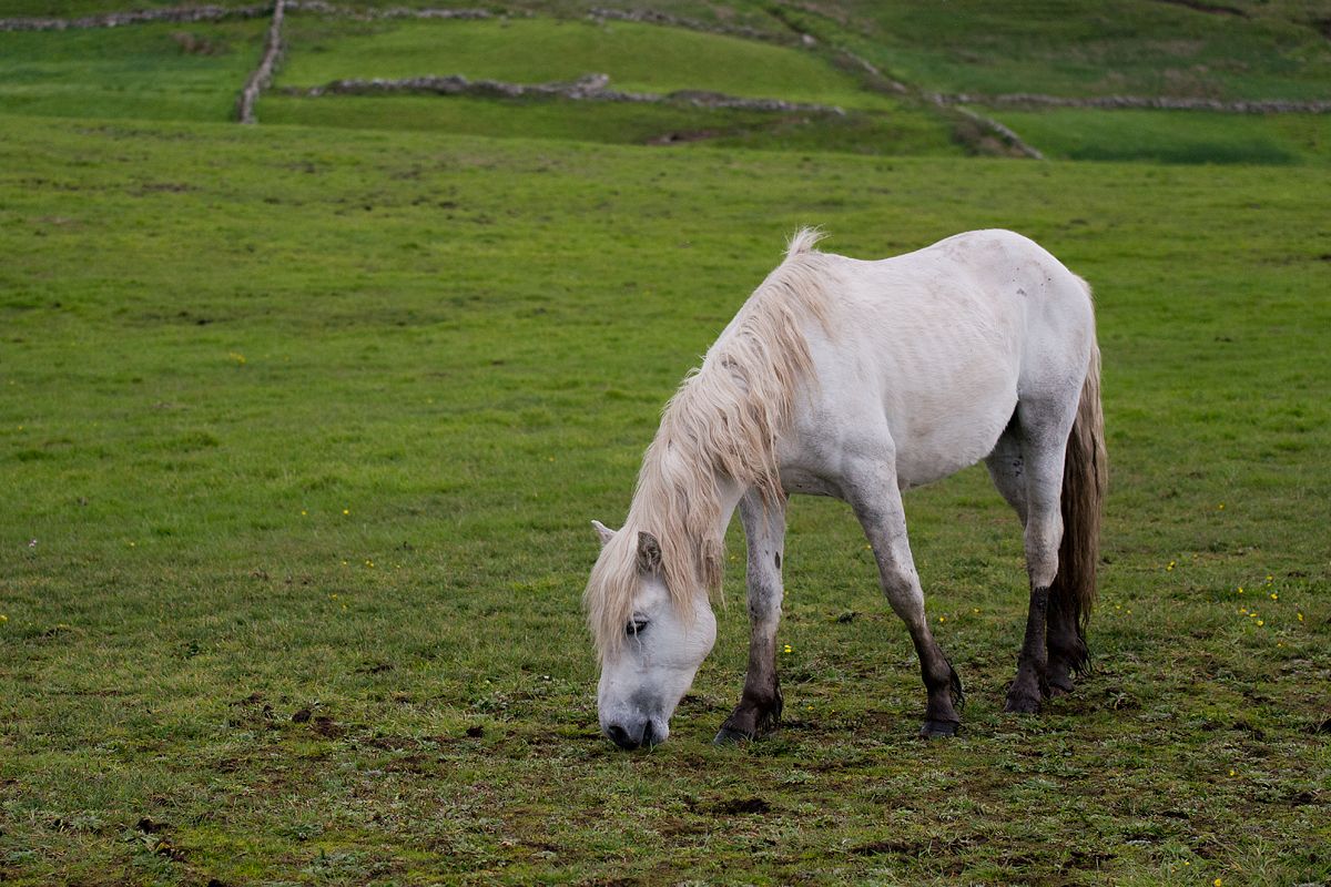 A sturdy young Irish pony.