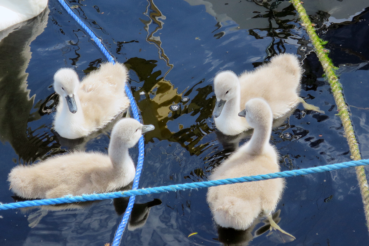 There are many mute swans in the River Corrib. These are four young swans (or cygnets).