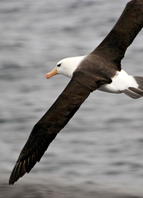 There is wildlife out here! A black-browed albatross soars lightly above the waves, catching and holding the wind effortlessly, dipping and rising in exquisite flight.