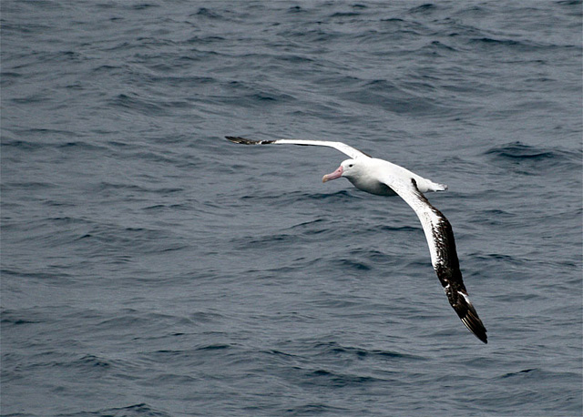 …and the wandering albatross. With a wingspan of nearly twelve feet, it wheels in wide circles above the ship, gazing down with soft brown eyes.