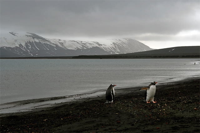 As we make ready to depart, two Gentoo penguins emerge from the water. They belong to a world apart from us, a system that has never needed us. As Australian Andrew Denton put it, 'if Antarctica were music it would be Mozart. Art, and it would be Michelangelo. Literature, and it would be Shakespeare. And yet it is something even greater; the only place on earth that is still as it should be. May we never tame it.'