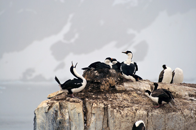A small colony of blue-eyed cormorants nests at Petermann Island.