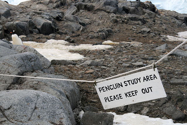 Scientists at Port Lockroy are studying the effects of tourism among the local penguin colonies. Half of the island is open to human traffic, and half is reserved for penguins only. Interestingly, there appear to be some slight positive effects from increased human presence, possibly due to people being a deterrent to skua attacks on eggs and newborn chicks.