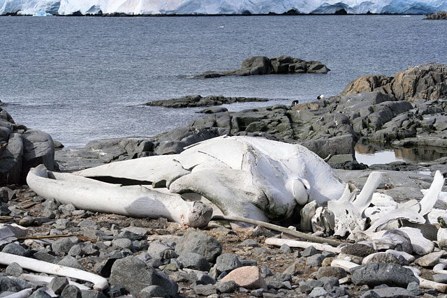Whale bones at Jougla Point. The skeleton is made up of bones from several animals.
