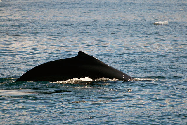 A humpback whale surfaces nearby.