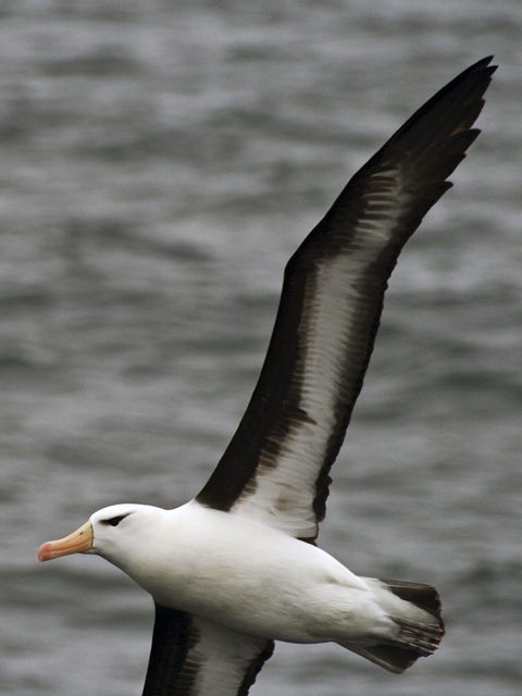 A black-browed albatross.
