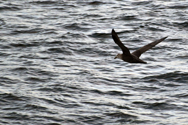 The albatrosses of the Drake Passage are far behind. New seabirds appear: the northern giant petrel.